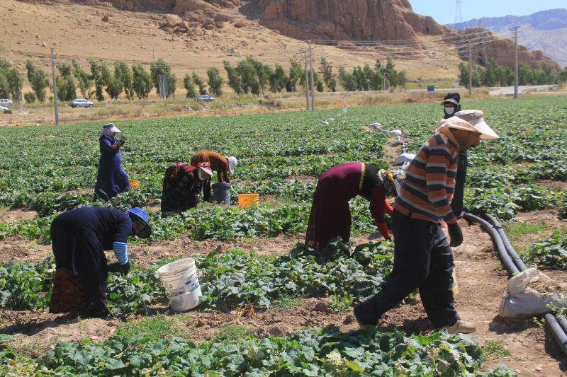 برداشت خیار از مزارع شهرستان سرپلذهاب آغاز شد