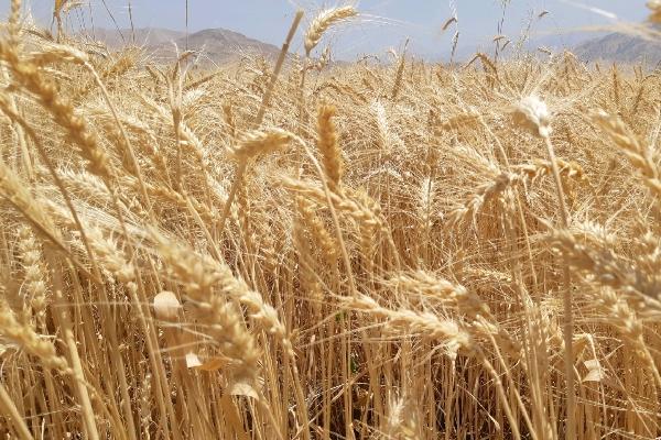 آغاز برداشت غلات در بیش از ۳۵ هکتار مزارع زیر کشت درشهرستان